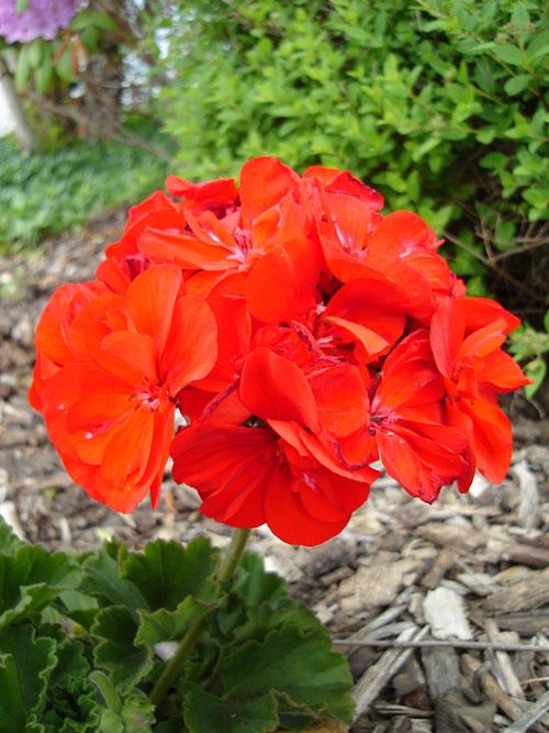 geranium (122k image)