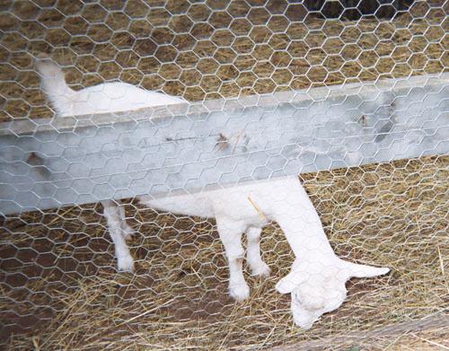 goats (115k image)